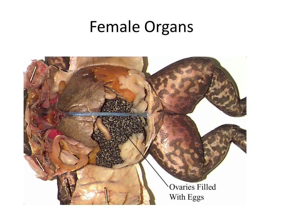 Female Organs