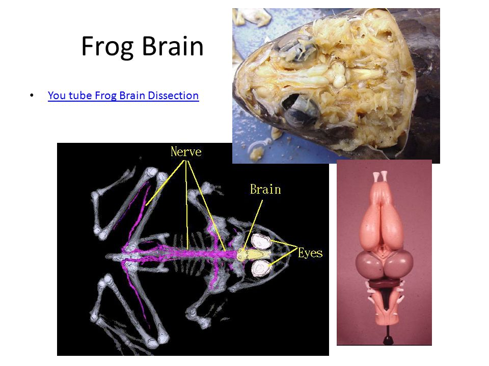 Frog Brain You tube Frog Brain Dissection