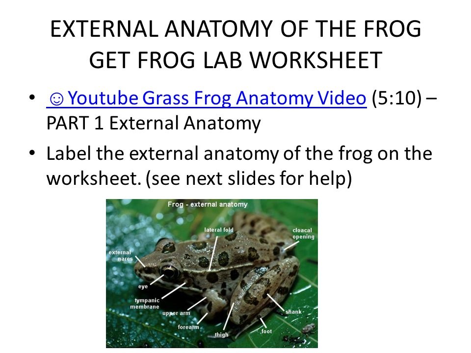 EXTERNAL ANATOMY OF THE FROG GET FROG LAB WORKSHEET ☺ Youtube Grass Frog Anatomy Video (5:10) – PART 1 External Anatomy ☺ Youtube Grass Frog Anatomy V