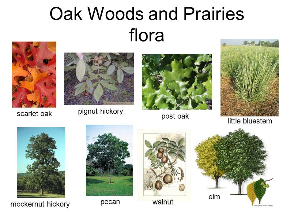 Oak Woods and Prairies flora little bluestem mockernut hickory pignut hickory scarlet oak post oak pecan elm walnut