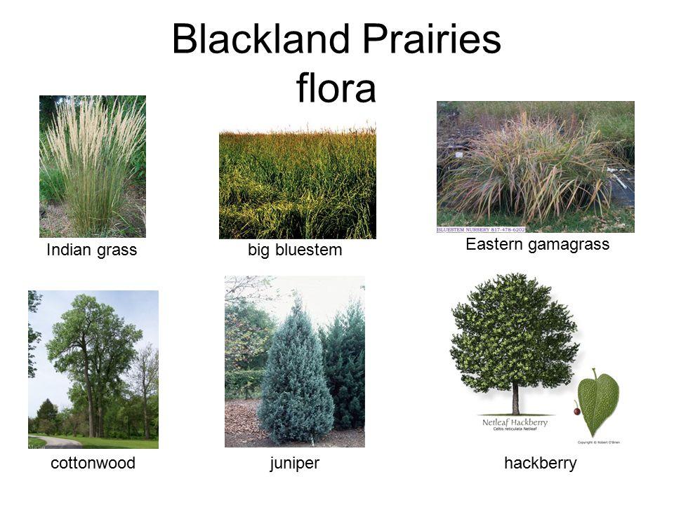 Blackland Prairies flora Indian grass big bluestem Eastern gamagrass cottonwood juniper hackberry