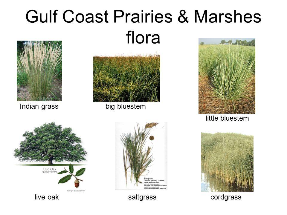 Gulf Coast Prairies & Marshes flora Indian grass big bluestem little bluestemlive oak saltgrass cordgrass