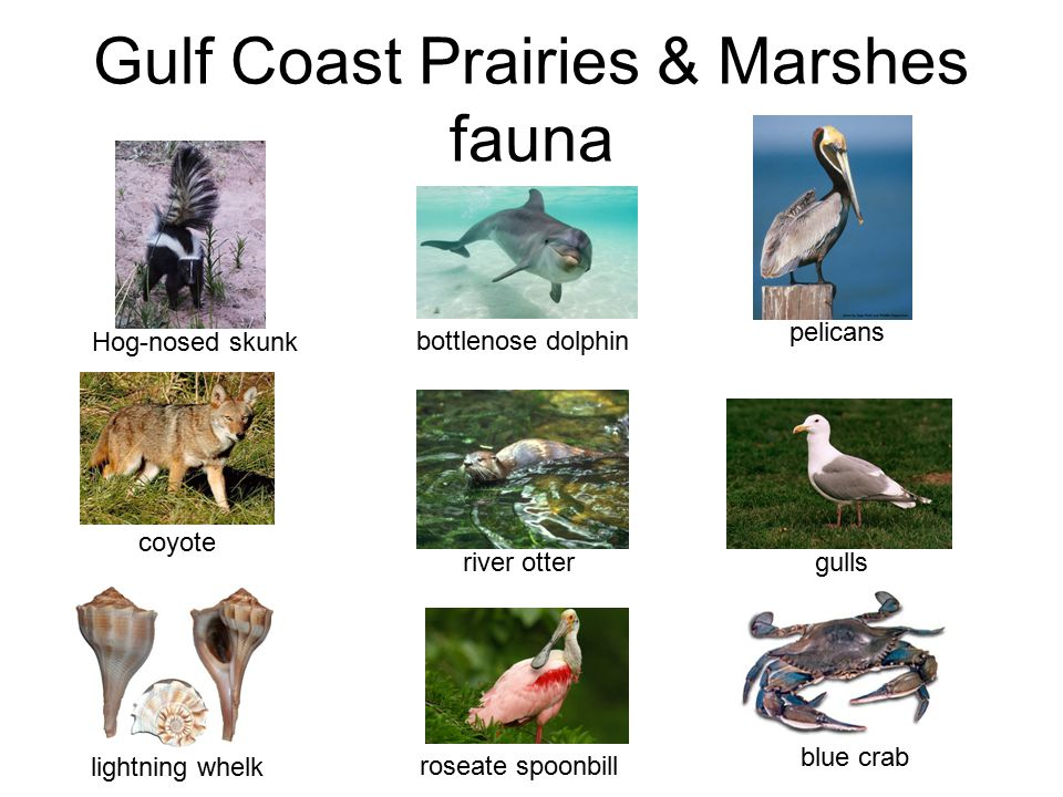Gulf Coast Prairies & Marshes fauna coyote Hog-nosed skunk river otter gulls bottlenose dolphin pelicans roseate spoonbill blue crab lightning whelk