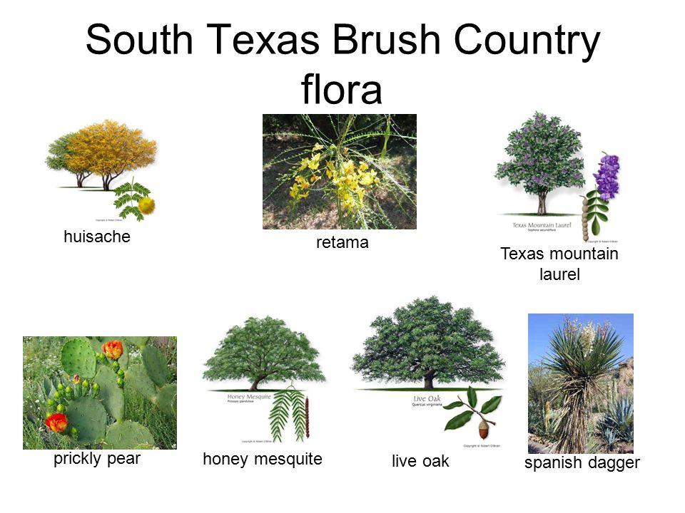 South Texas Brush Country flora honey mesquite retama Texas mountain laurel huisache spanish dagger prickly pear live oak