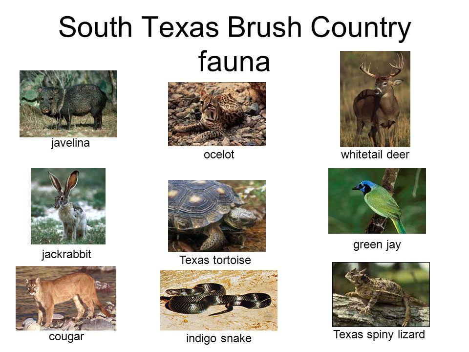 South Texas Brush Country fauna javelina indigo snake Texas tortoise green jay jackrabbit ocelotTexas spiny lizard cougar whitetail deer