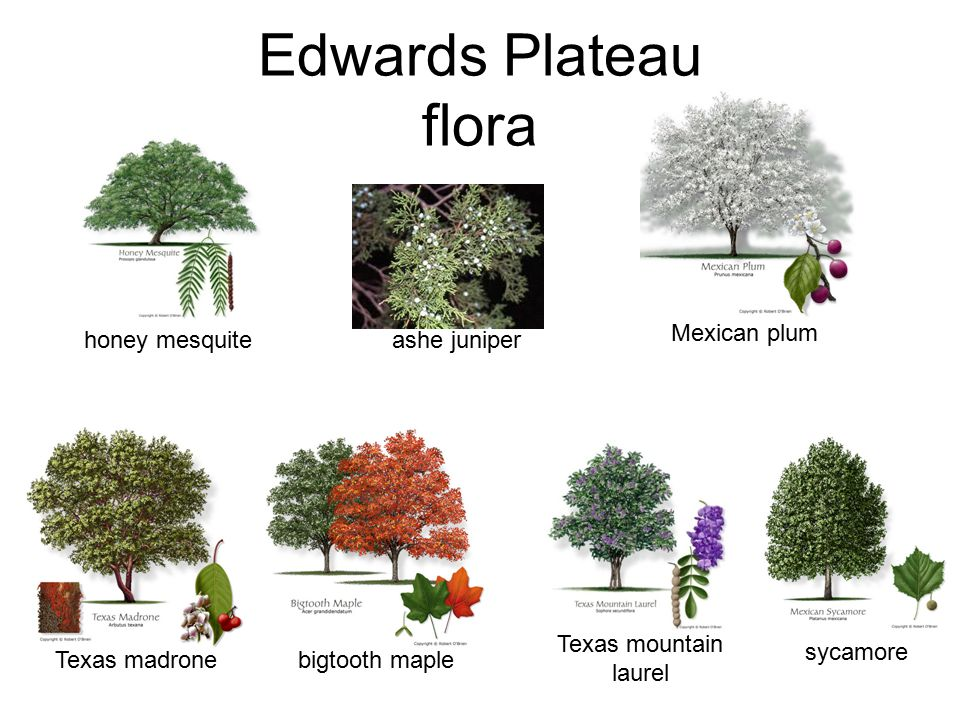 Edwards Plateau flora honey mesquite Texas mountain laurel sycamore Texas madrone Mexican plum ashe juniper bigtooth maple