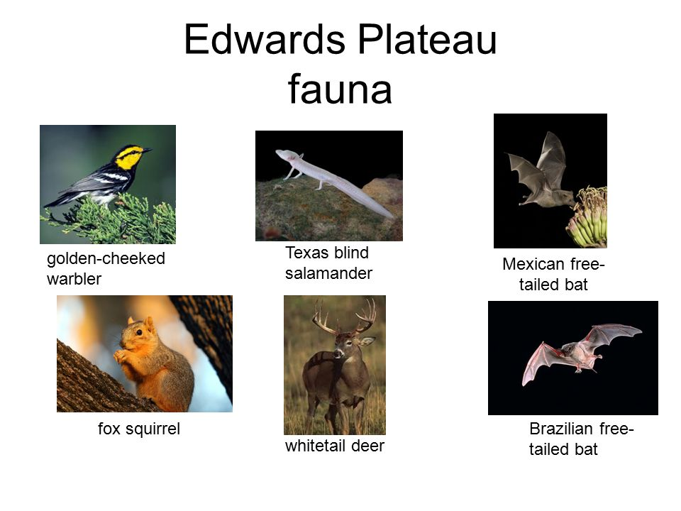 Edwards Plateau fauna Texas blind salamander Mexican free- tailed bat golden-cheeked warbler fox squirrel Brazilian free- tailed bat whitetail deer