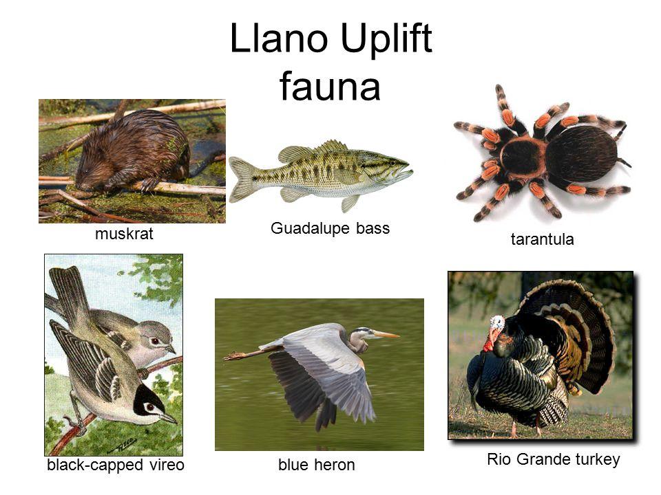 Llano Uplift fauna muskrat Guadalupe bass tarantula black-capped vireo blue heron Rio Grande turkey