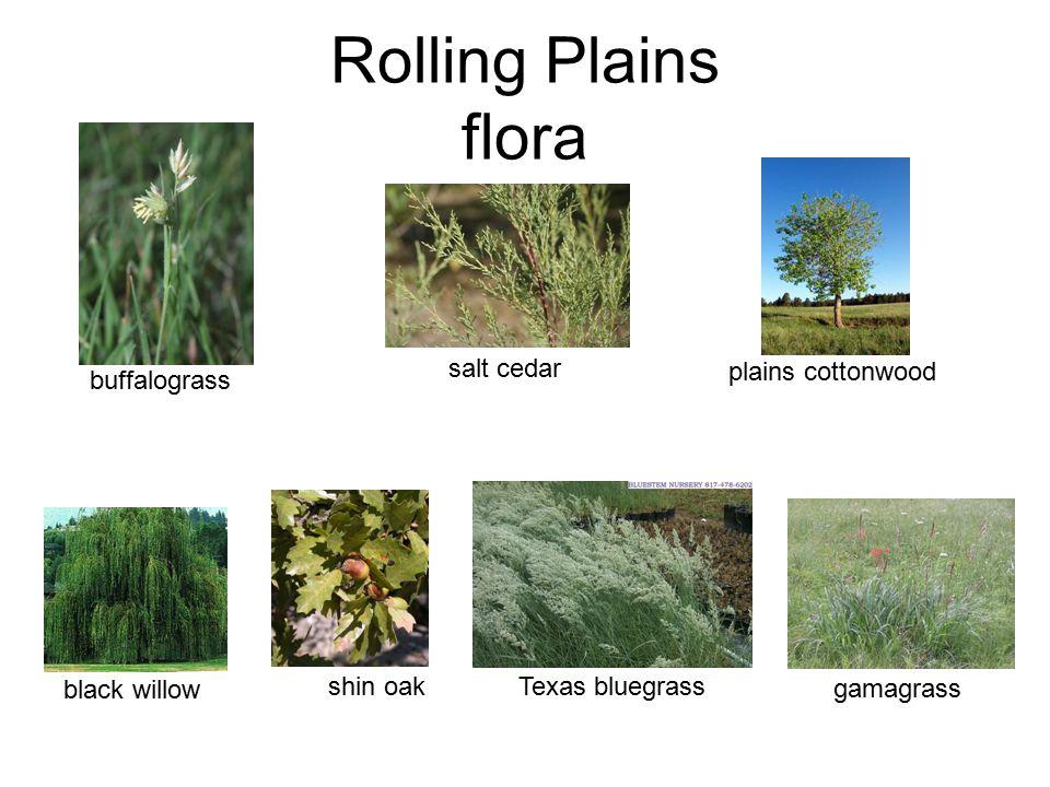 Rolling Plains flora black willow shin oak salt cedar plains cottonwood buffalograss gamagrass Texas bluegrass