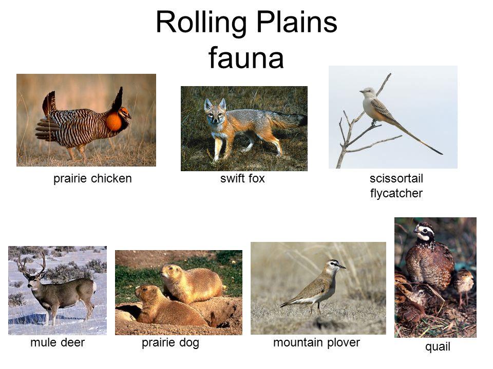 Rolling Plains fauna prairie chicken mule deer scissortail flycatcher swift foxprairie dog mountain plover quail