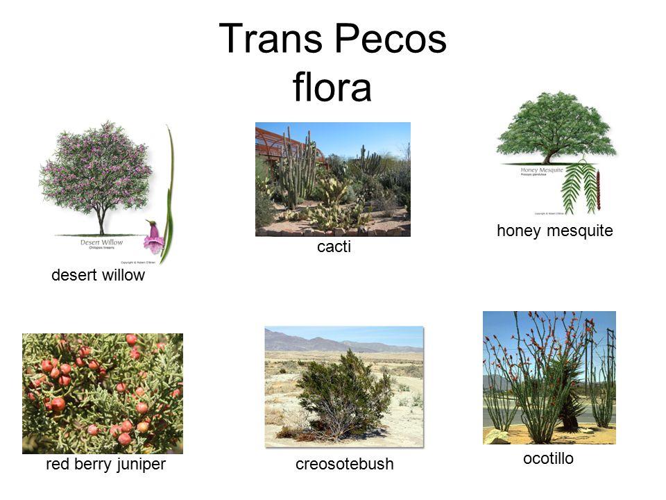 Trans Pecos flora honey mesquite ocotillo creosotebush cacti desert willow red berry juniper