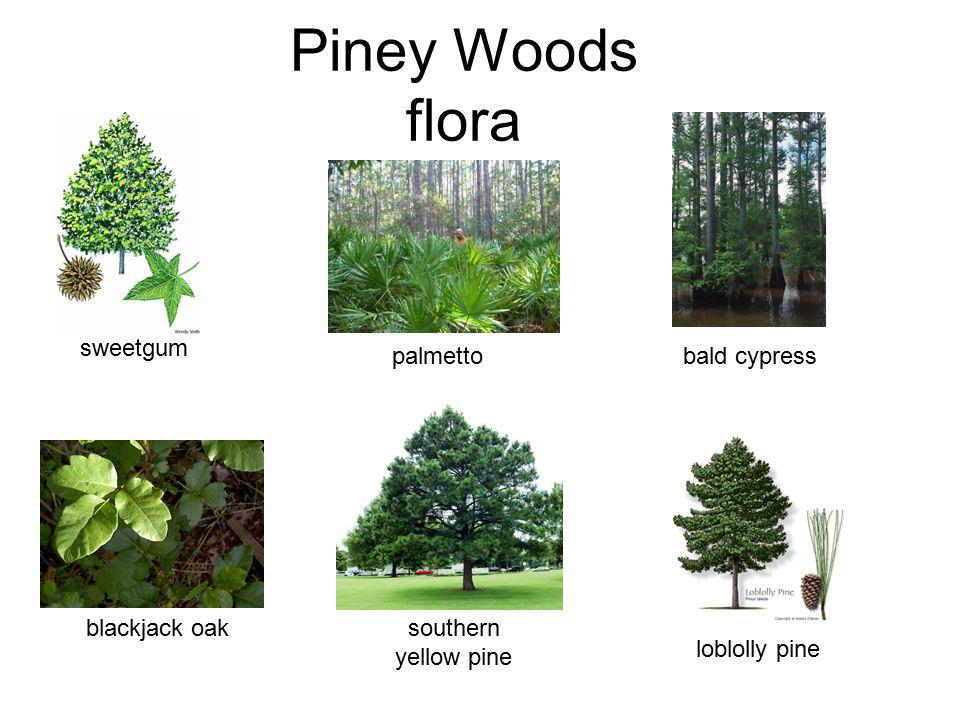 Piney Woods flora loblolly pine palmetto bald cypress blackjack oak sweetgum southern yellow pine