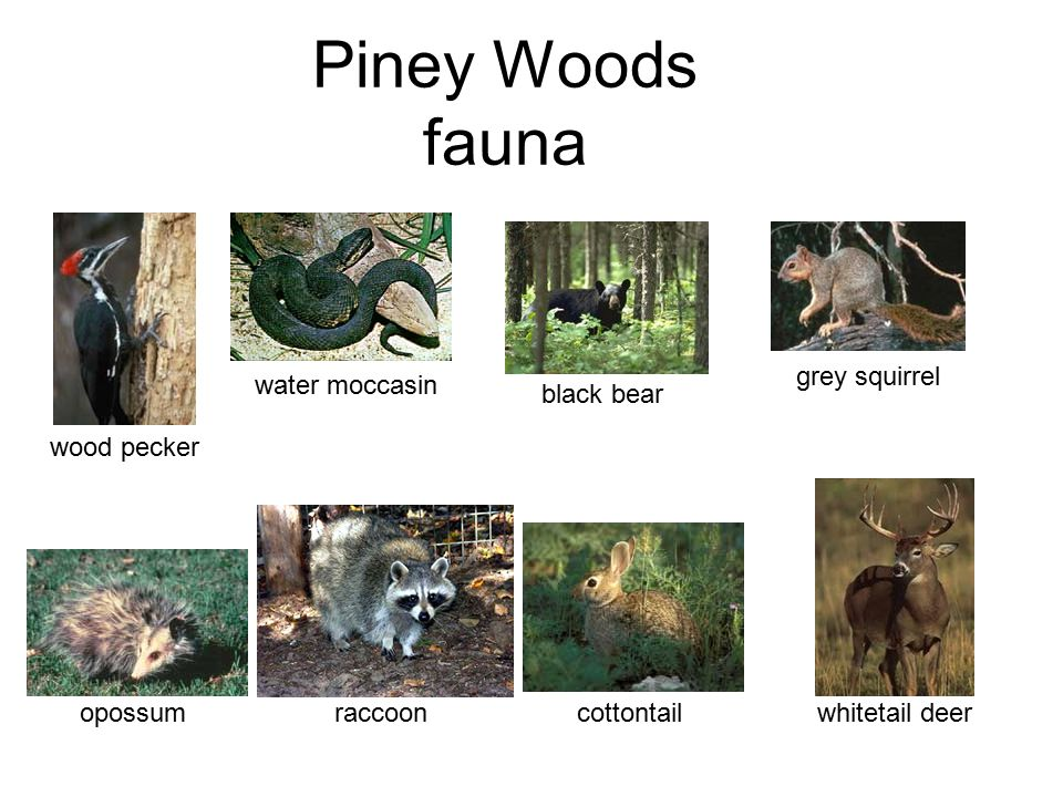 Piney Woods fauna grey squirrel black bear water moccasin cottontail opossum wood pecker whitetail deer raccoon