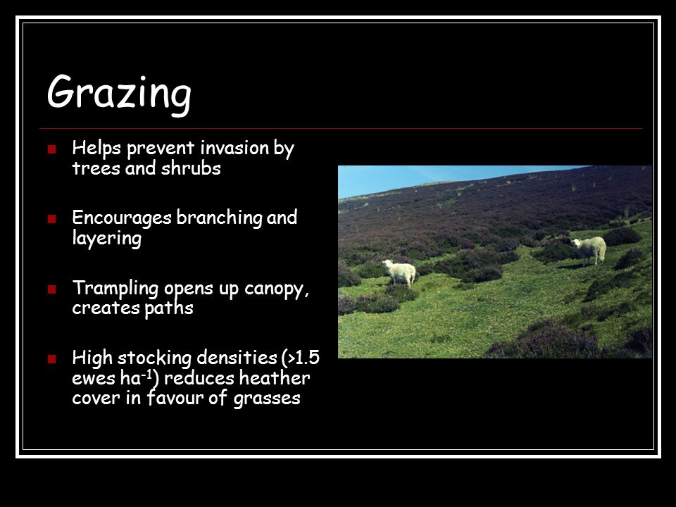 Grazing Helps prevent invasion by trees and shrubs Encourages branching and layering Trampling opens up canopy, creates paths High stocking densities