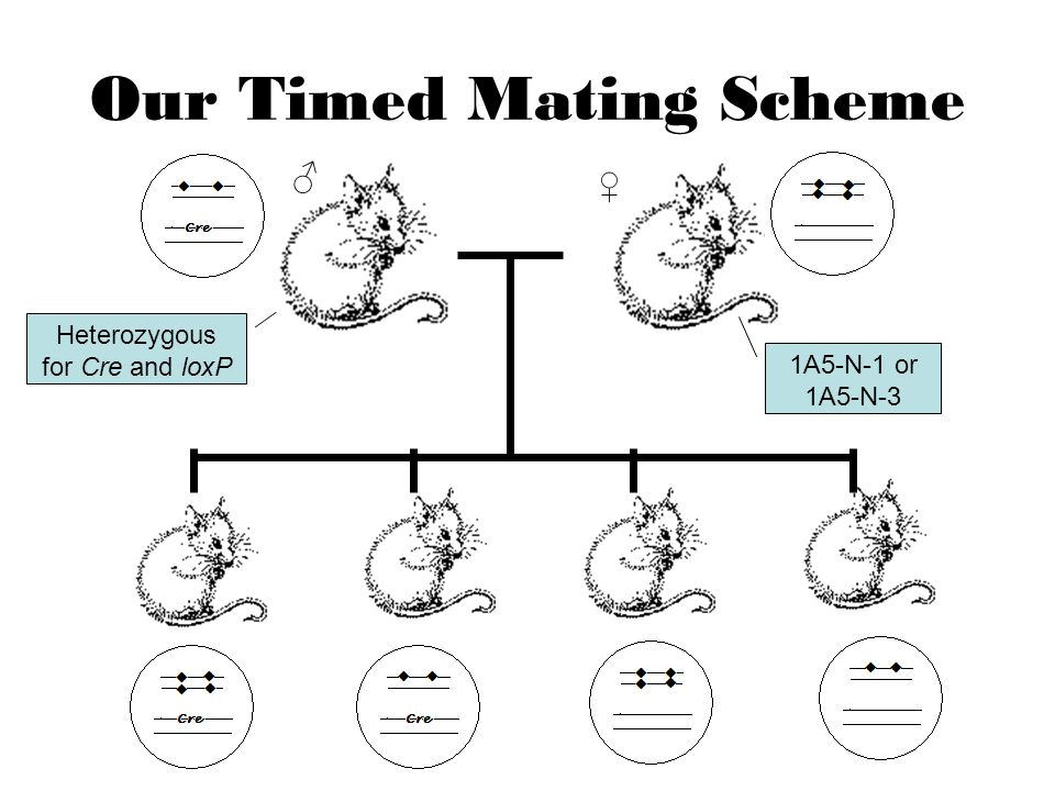 Our Timed Mating Scheme ♀ ♂ Heterozygous for Cre and loxP 1A5-N-1 or 1A5-N-3