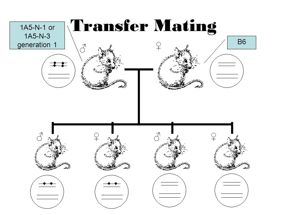 Transfer Mating ♂ ♀ ♂♂ ♀♀ 1A5-N-1 or 1A5-N-3 generation 1 B6