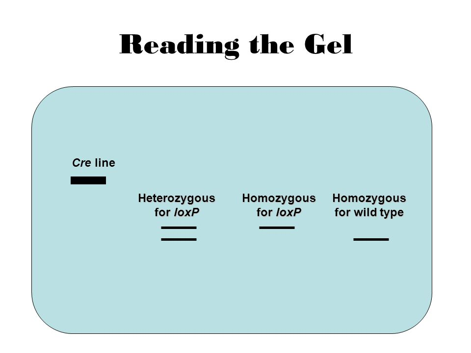 Reading the Gel Cre line Heterozygous for loxP Homozygous for loxP Homozygous for wild type