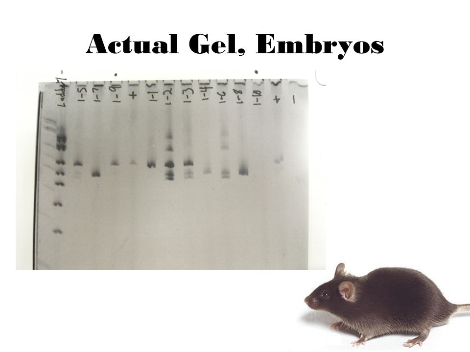 Actual Gel, Embryos
