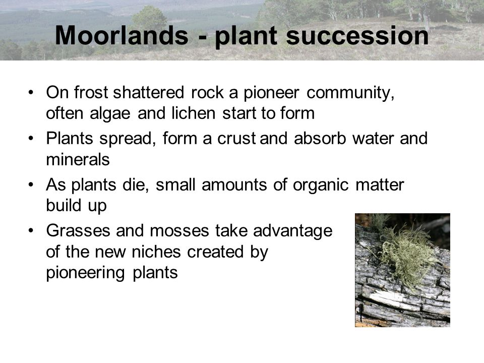 Moorlands - plant succession On frost shattered rock a pioneer community, often algae and lichen start to form Plants spread, form a crust and absorb