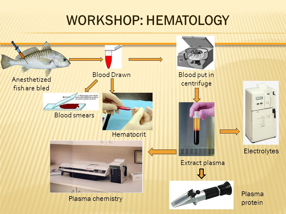 Anesthetized fish are bled Blood DrawnBlood put in centrifuge Blood smears Extract plasma Hematocrit WORKSHOP: HEMATOLOGY Plasma chemistry Electrolytes Plasma protein