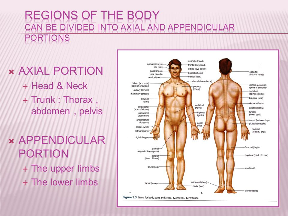  AXIAL PORTION  Head & Neck  Trunk : Thorax, abdomen, pelvis  APPENDICULAR PORTION  The upper limbs  The lower limbs