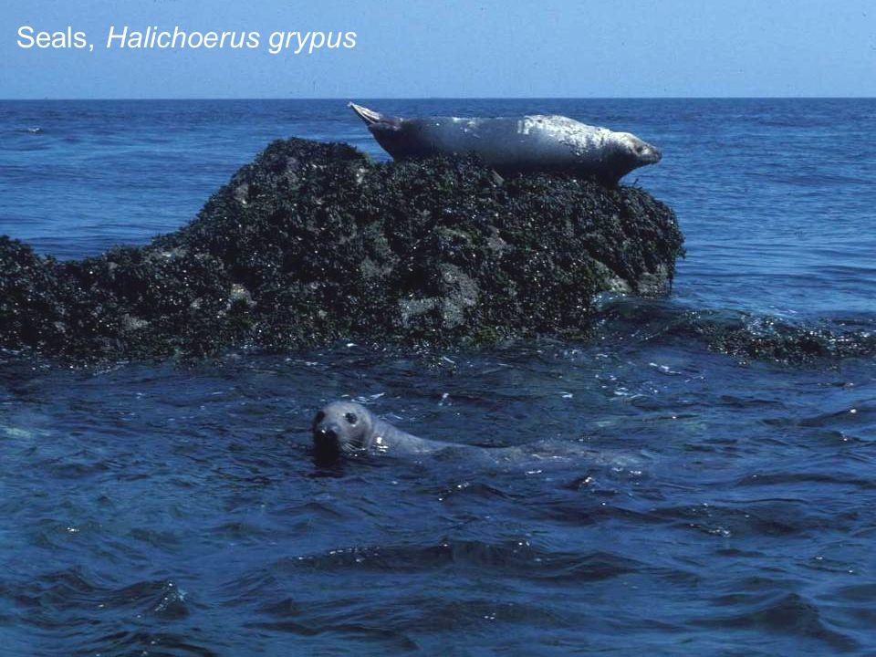 Seals, Halichoerus grypus