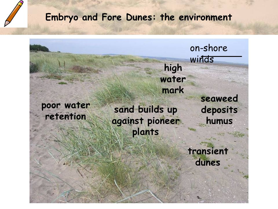 Embryo and Fore Dunes: the environment on-shore winds high water mark seaweed deposits humus sand builds up against pioneer plants transient dunes poor water retention