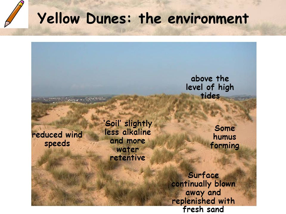 Yellow Dunes: the environment above the level of high tides reduced wind speeds Surface continually blown away and replenished with fresh sand 'Soil' slightly less alkaline and more water retentive Some humus forming