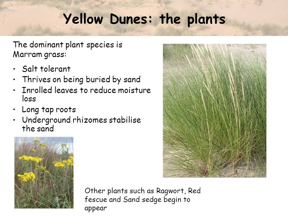 Yellow Dunes: the plants Salt tolerant Thrives on being buried by sand Inrolled leaves to reduce moisture loss Long tap roots Underground rhizomes sta