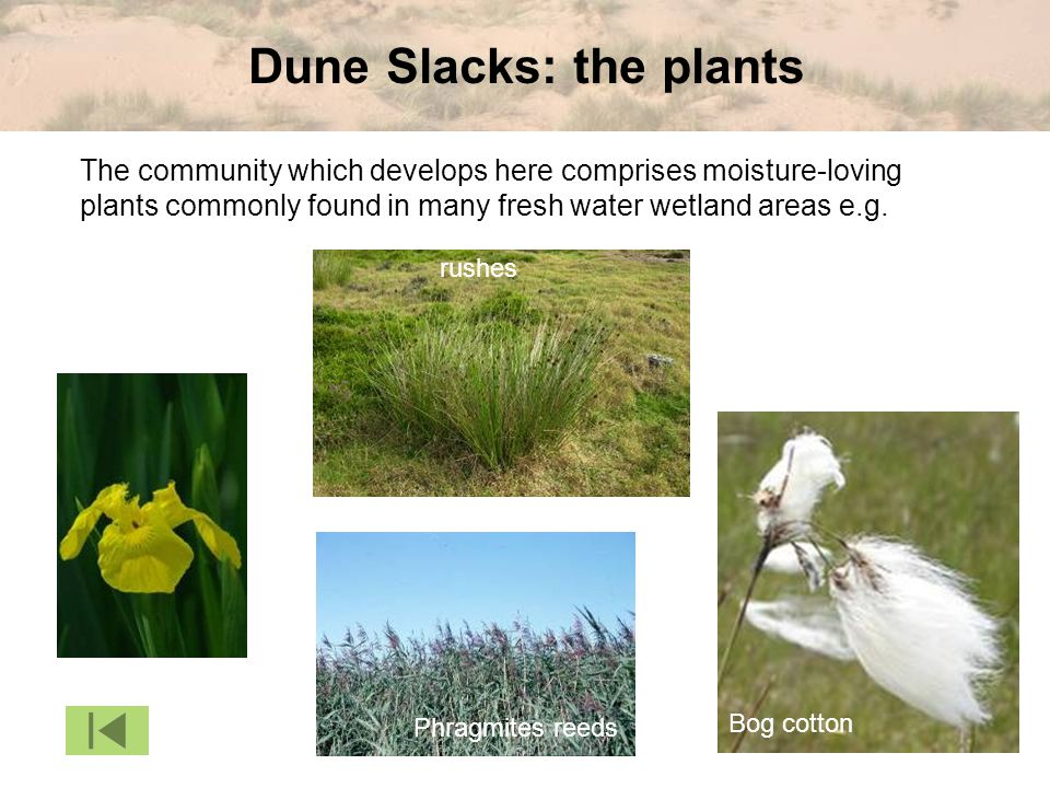 Dune Slacks: the plants The community which develops here comprises moisture-loving plants commonly found in many fresh water wetland areas e.g. Phrag