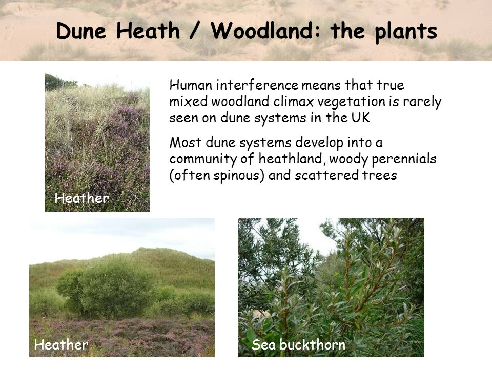 Dune Heath / Woodland: the plants Human interference means that true mixed woodland climax vegetation is rarely seen on dune systems in the UK Most dune systems develop into a community of heathland, woody perennials (often spinous) and scattered trees Heather Sea buckthornHeather