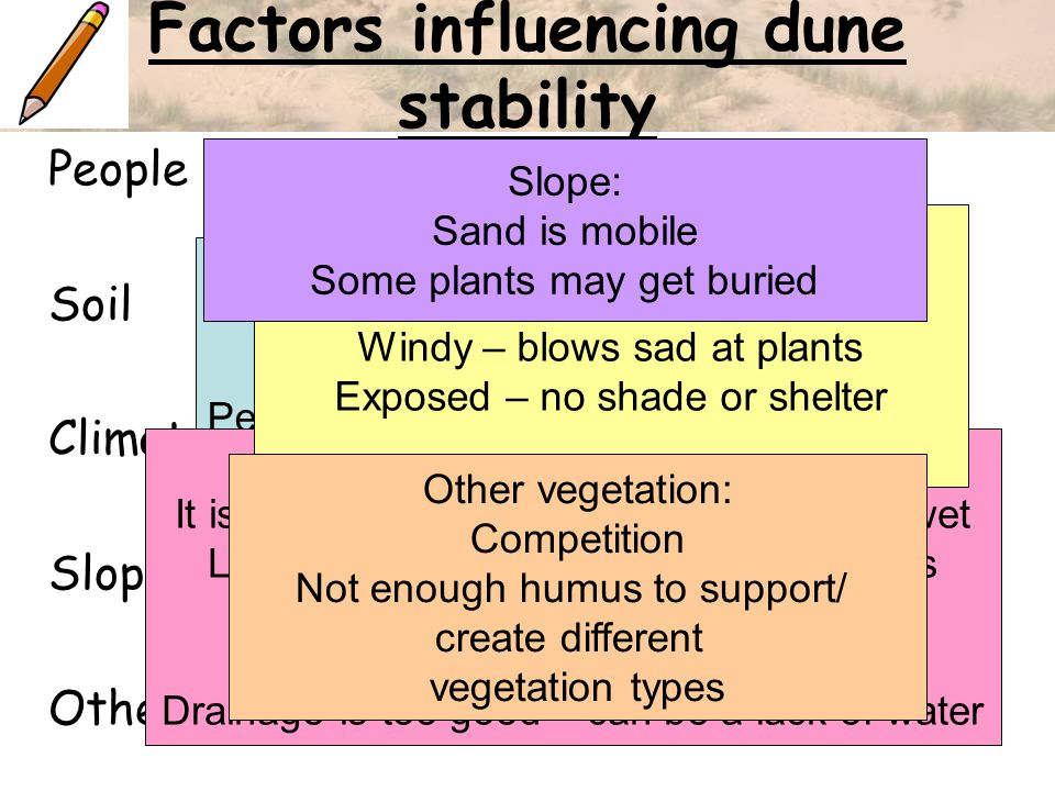 Factors influencing dune stability People Soil Climate Slope Other vegetation People: People walk on dunes and trample plants Soil: It is tidal so is never 100 % dry or 100% wet Lack of organic content so less nutrients Alkaline soils– sea shells Saline soils – salty water Drainage is too good – can be a lack of water Climate: Windy – blows sad at plants Exposed – no shade or shelter Slope: Sand is mobile Some plants may get buried Other vegetation: Competition Not enough humus to support/ create different vegetation types