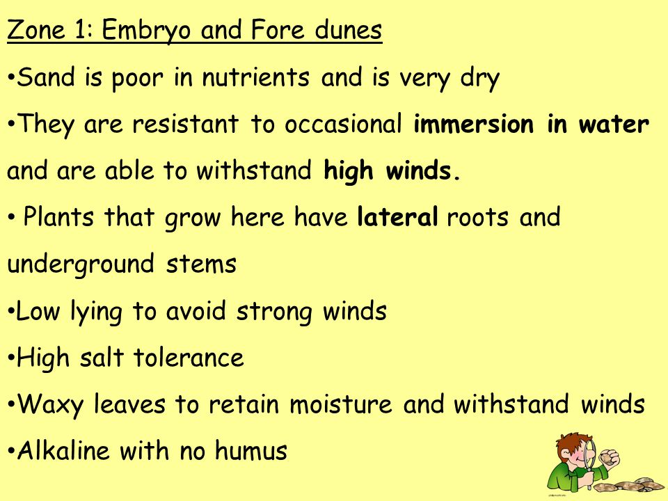 Zone 1: Embryo and Fore dunes Sand is poor in nutrients and is very dry They are resistant to occasional immersion in water and are able to withstand high winds.