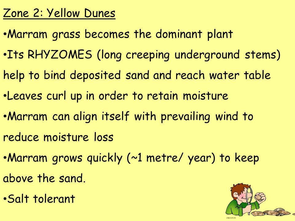 Zone 2: Yellow Dunes Marram grass becomes the dominant plant Its RHYZOMES (long creeping underground stems) help to bind deposited sand and reach water table Leaves curl up in order to retain moisture Marram can align itself with prevailing wind to reduce moisture loss Marram grows quickly (~1 metre/ year) to keep above the sand.