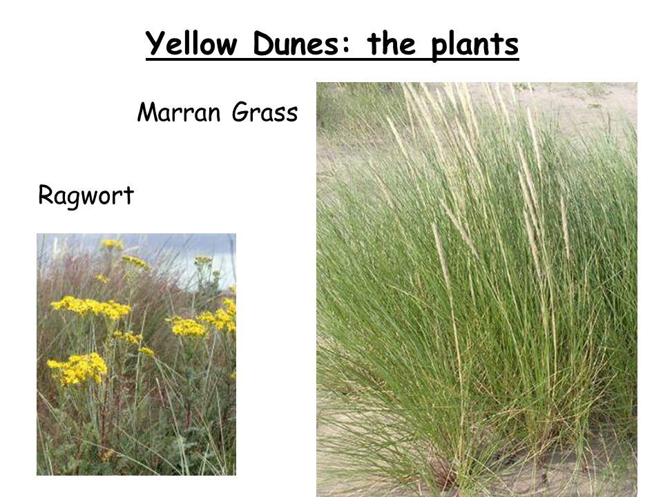 Yellow Dunes: the plants Ragwort Marran Grass