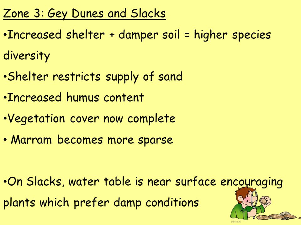 Zone 3: Gey Dunes and Slacks Increased shelter + damper soil = higher species diversity Shelter restricts supply of sand Increased humus content Vegetation cover now complete Marram becomes more sparse On Slacks, water table is near surface encouraging plants which prefer damp conditions