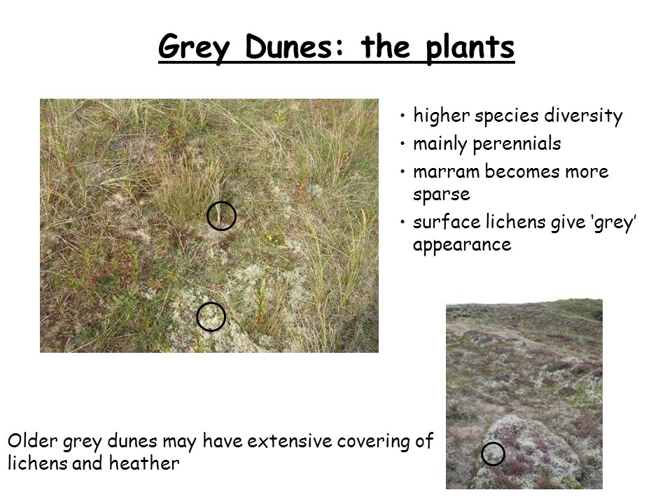 Grey Dunes: the plants Older grey dunes may have extensive covering of lichens and heather marram becomes more sparse mainly perennials higher species