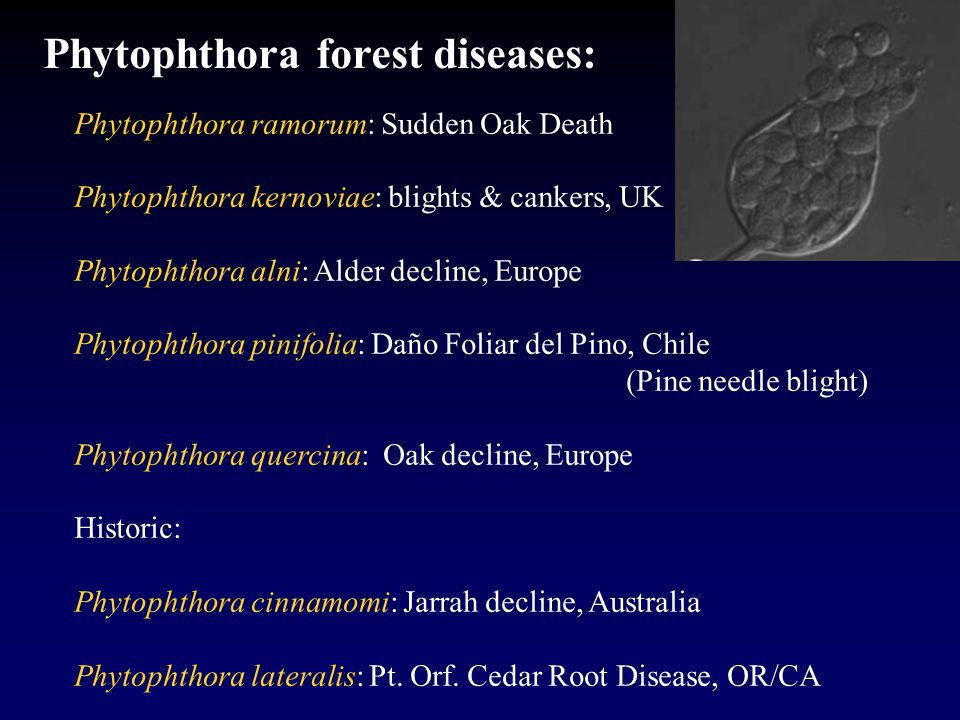 Phytophthora ramorum: Sudden Oak Death Phytophthora kernoviae: blights & cankers, UK Phytophthora alni: Alder decline, Europe Phytophthora pinifolia: Daño Foliar del Pino, Chile (Pine needle blight) Phytophthora quercina: Oak decline, Europe Historic: Phytophthora cinnamomi: Jarrah decline, Australia Phytophthora lateralis: Pt.