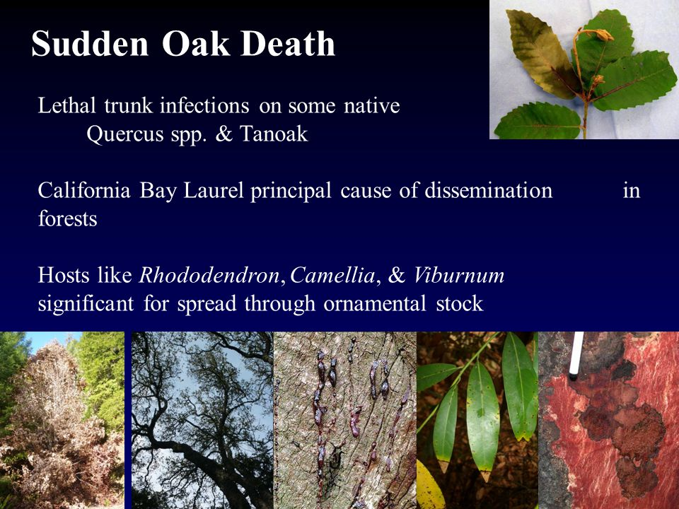 Sudden Oak Death Lethal trunk infections on some native Quercus spp.