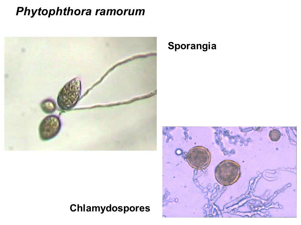 Phytophthora ramorum Sporangia Chlamydospores