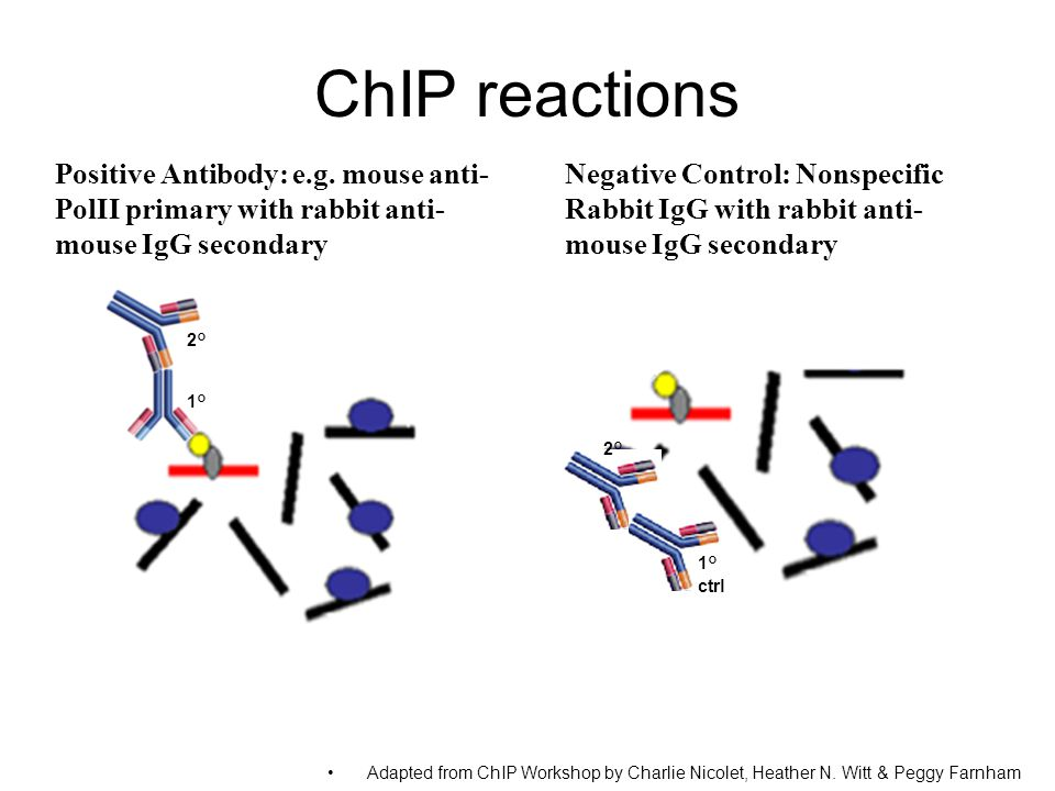 ChIP reactions Positive Antibody: e.g. mouse anti- PolII primary with rabbit anti- mouse IgG secondary Negative Control: Nonspecific Rabbit IgG with r