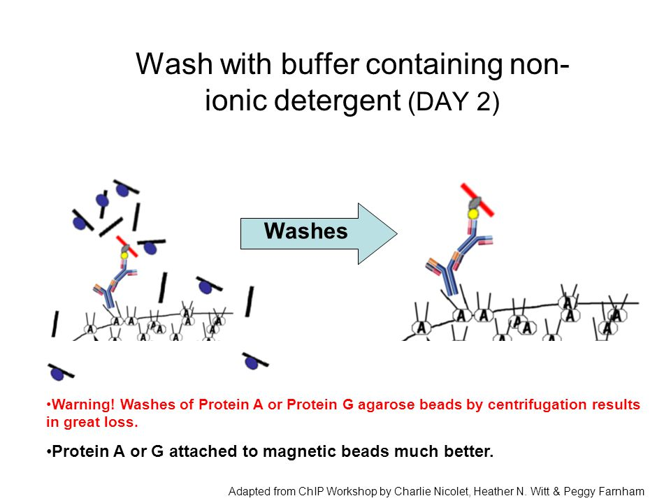 Wash with buffer containing non- ionic detergent (DAY 2) Washes Warning! Washes of Protein A or Protein G agarose beads by centrifugation results in g