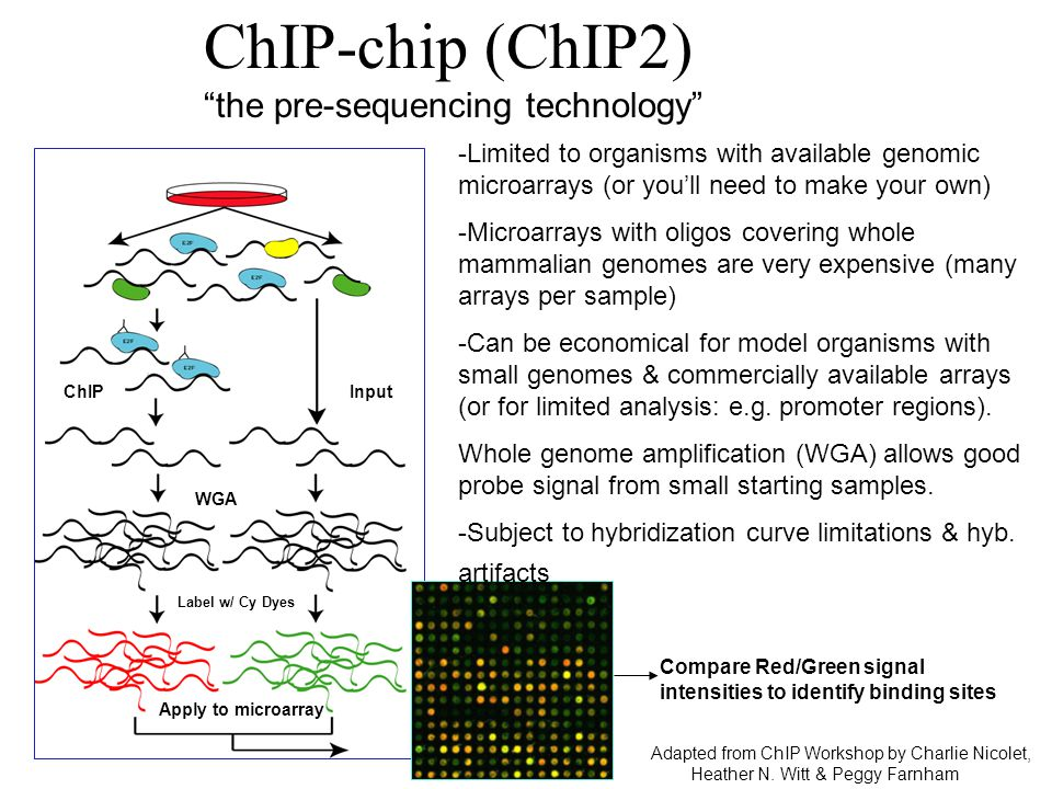 "WGA ChIPInput Label w/ Cy Dyes Apply to microarray Compare Red/Green signal intensities to identify binding sites ChIP-chip (ChIP2) ""the pre-sequencin"