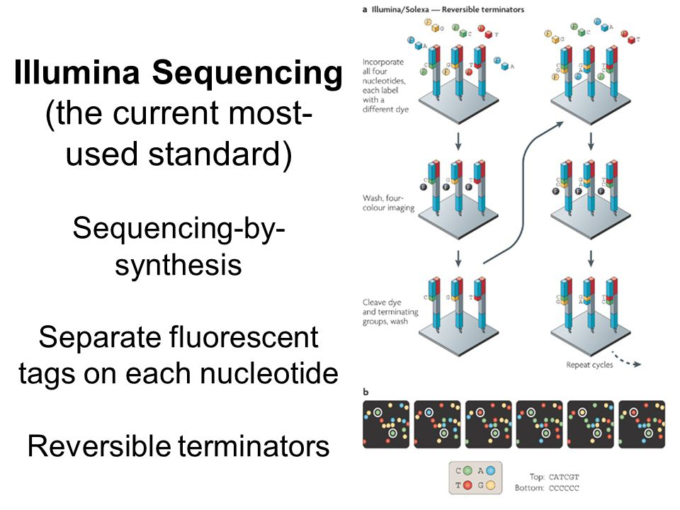 Illumina Sequencing (the current most- used standard) Sequencing-by- synthesis Separate fluorescent tags on each nucleotide Reversible terminators