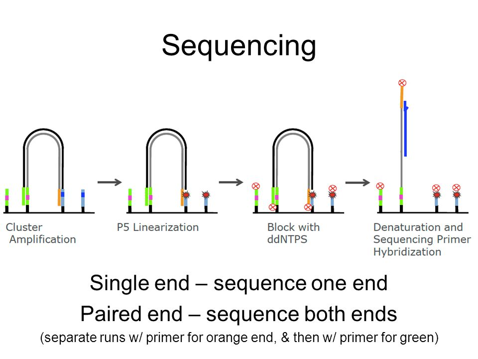 Sequencing Single end – sequence one end Paired end – sequence both ends (separate runs w/ primer for orange end, & then w/ primer for green)