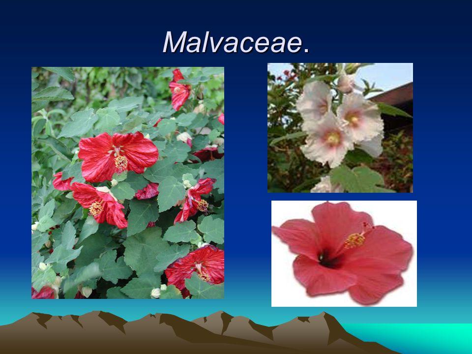 Malvaceae.