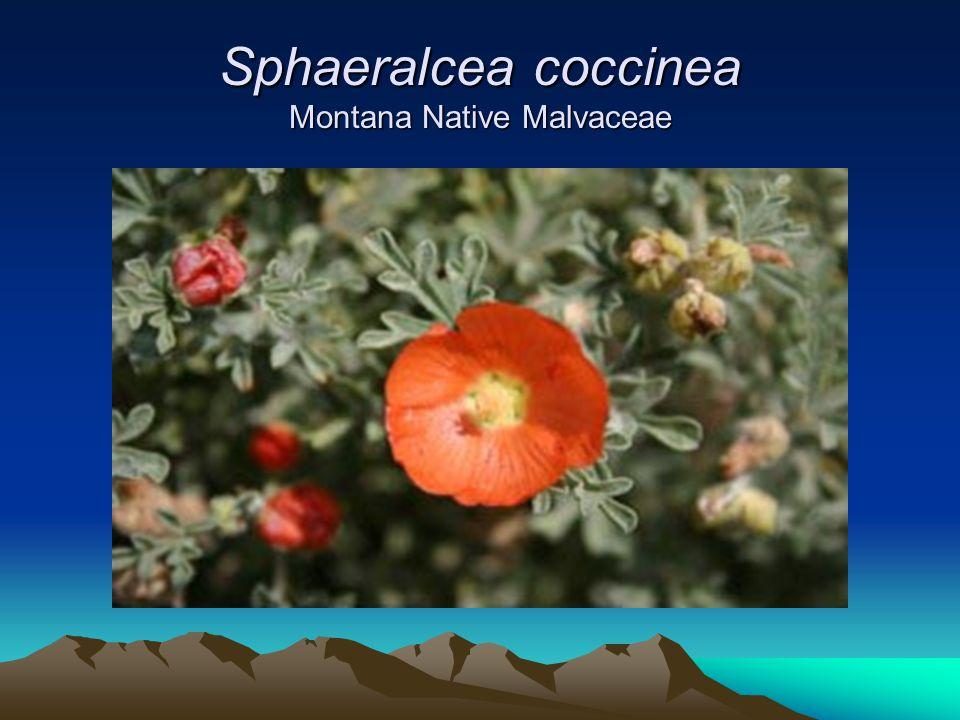 Sphaeralcea coccinea Montana Native Malvaceae