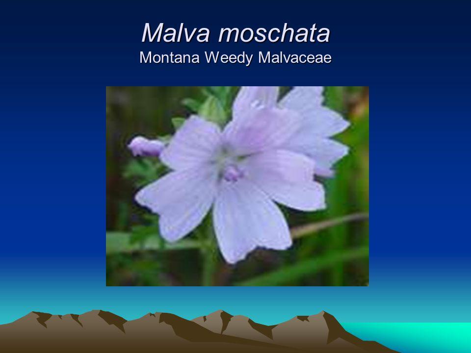 Malva moschata Montana Weedy Malvaceae