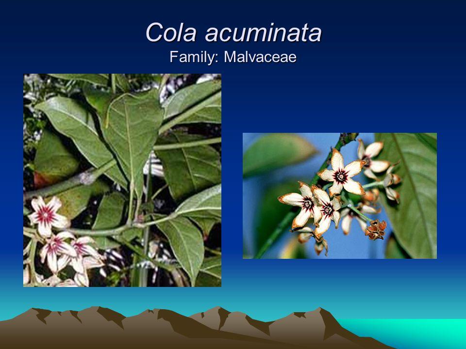 Cola acuminata Family: Malvaceae