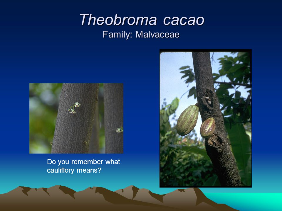 Theobroma cacao Family: Malvaceae Do you remember what cauliflory means